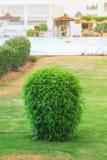 Grön buske på den gröna gräsmattan royaltyfria bilder