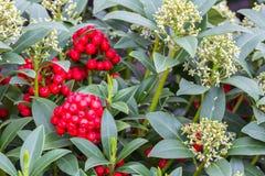 Grön buske Skimmia med röda frukter i holländskt växthus royaltyfri bild