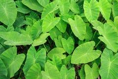 Grön Caladiumväxtskog Fotografering för Bildbyråer