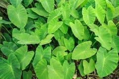 Grön Caladiumväxtskog Royaltyfri Foto