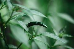 Grön chili på trädet med det gröna bladet fotografering för bildbyråer