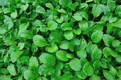 Grön choy summa i tillväxt Arkivfoto