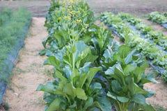 Grön choy summa i tillväxt på grönsakträdgården Royaltyfri Fotografi