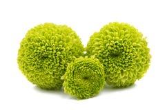 Grön chrysanthemum royaltyfria bilder
