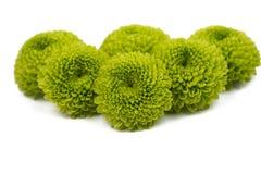 Grön chrysanthemum arkivbild