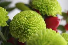 Grön chrysanthemum arkivfoto