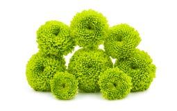 Grön chrysanthemum royaltyfri bild