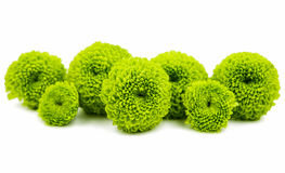 Grön chrysanthemum fotografering för bildbyråer