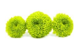 Grön chrysanthemum royaltyfria foton