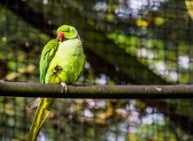 Grön cirkel hånglad parakiter i closeupen, färgrik papegoja som sitter på en trädfilial, tropisk fågel från Afrika arkivfoton