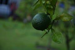 grön citron royaltyfri bild