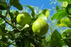Grön citron bland sidor på träd arkivbilder