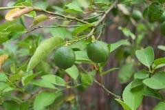 Grön citron på filial Arkivbilder