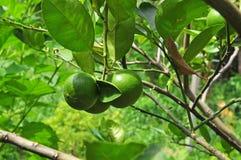 Grön citrongrupp Arkivfoto