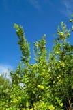 grön citrontree royaltyfri fotografi