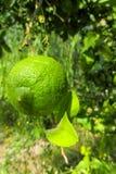 grön citrontree fotografering för bildbyråer