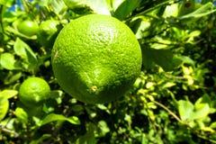 grön citrontree arkivbilder