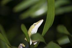 Grön Closeup för Anole Anoliscarolinensis fotografering för bildbyråer