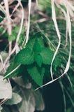 Grön closeup för ny mintkaramell menthol royaltyfria foton