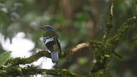 Grön Cochoa sällsynt fågel i Thailand och South East Asia lager videofilmer