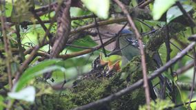 Grön Cochoa sällsynt fågel i Thailand och South East Asia arkivfilmer