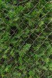 Grön cypress som bryter till och med det metalliska staketet Växt och staket arkivfoto