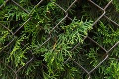 Grön cypress som bryter till och med det metalliska staketet Växt och staket arkivfoton