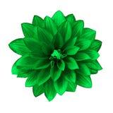 Grön dahlia för blomma som isoleras på vit bakgrund Närbild element för klockajuldesign arkivfoton