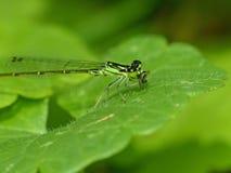 Grön Damselfly som äter rovet royaltyfri foto