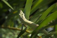 Grön detalj för anoleAnoliscarolinensis på en Coontie Bush royaltyfri foto
