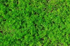 Grön dill Arkivbilder