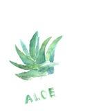 Grön dragen målarfärg för blått hand av aloe vera Tequilavattenfärgillustration Medicinsk färgväxt Royaltyfri Foto