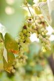 Grön druva-vine Arkivfoto