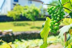 grön druvafrukt på vinrankan unripe Arkivfoto