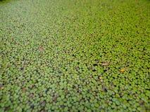 Grön duckweed Royaltyfria Foton