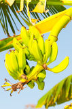 grön dunge för banan Arkivfoto