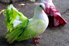 grön duva Arkivfoton