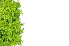 Grön ekbladgrönsallat som isoleras på vit bakgrund, snabbt PA Royaltyfria Foton