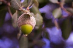Grön ekollon Royaltyfri Foto