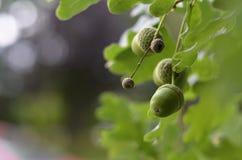 Grön ekollon Arkivbilder