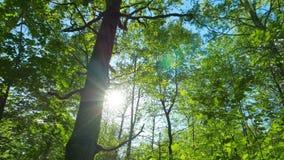 Grön ekskog, panorama stock video