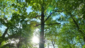 Grön ekskog, panorama arkivfilmer