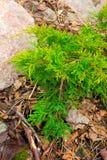 Grön envår i rockeries Royaltyfri Foto