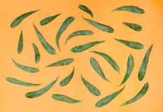 Grön eucaliptussidamodell på orange bakgrund Lekmanna- lägenhet Royaltyfri Fotografi