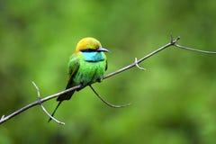 Grön fågel på träd i Uda Walawe National Park, Morenagala, Sri Lanka Arkivbilder
