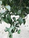 Grön förnyelse förgrena sig med sidor av det indiska mandelträdet Terminalia Catappa mot ljus eftermiddaghimmel Blad signalljus royaltyfri bild