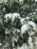 Grön förnyelse förgrena sig med sidor av det indiska mandelträdet Terminalia Catappa mot ljus eftermiddaghimmel Blad signalljus arkivfoto