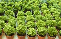 Grön Fern Arkivfoto