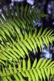 Grön fern Arkivfoton