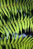 Grön fern Royaltyfria Foton